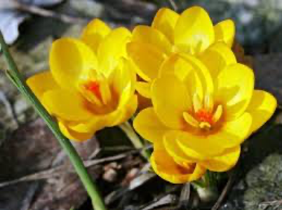 Crocus chrysanthus Herbert