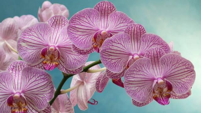 Gde raste orhideja?