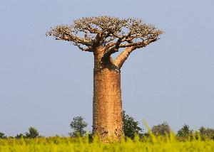 Gde raste Baobab?